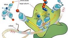 651px-Ribosome_mRNA_translation_en.svg.p