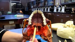Facial Bones 2