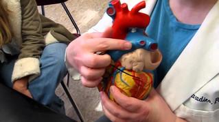 Heart P1