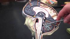 The Brain P2