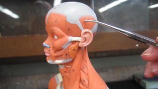 Minature Model: Facial/Neck/Cheek/Abdominal