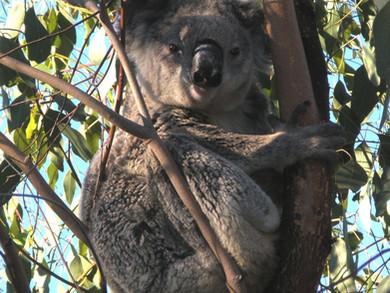 Spring 2020 Koala Tree Planting