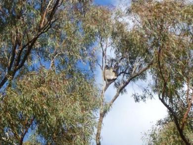 Koala Survey - Saturday 29 August 2015