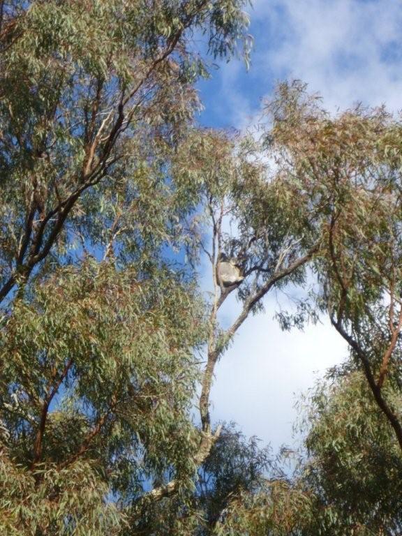 Koala Survey
