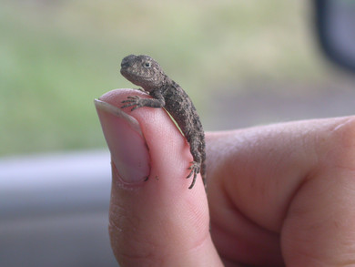 Offical Naming of Local Grassland Earless Dragon Species
