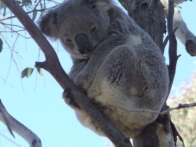 Koala's Future in Safe Hands