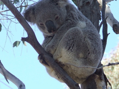 Koala's Future in Safe Hands