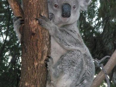 Koala Expert at AGM 9 Sept