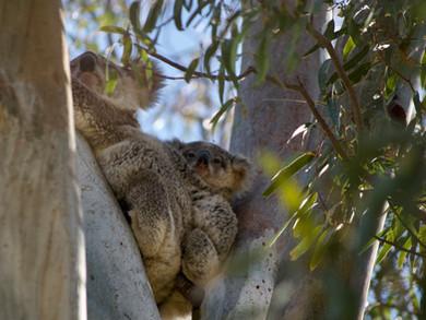 Autumn 2021 Koala Tree Planting