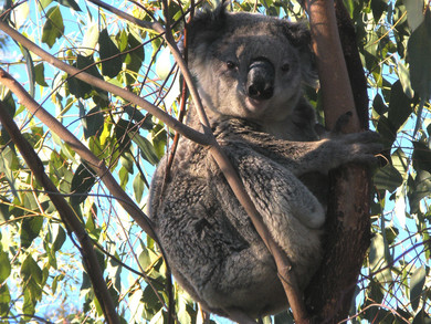 Koala Sightings