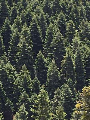 Orman ibreli.jpg