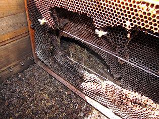 Attaque de rongeurs dans une ruche