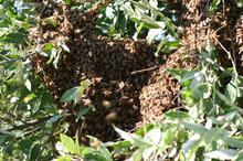 A swarm hiding in a tree
