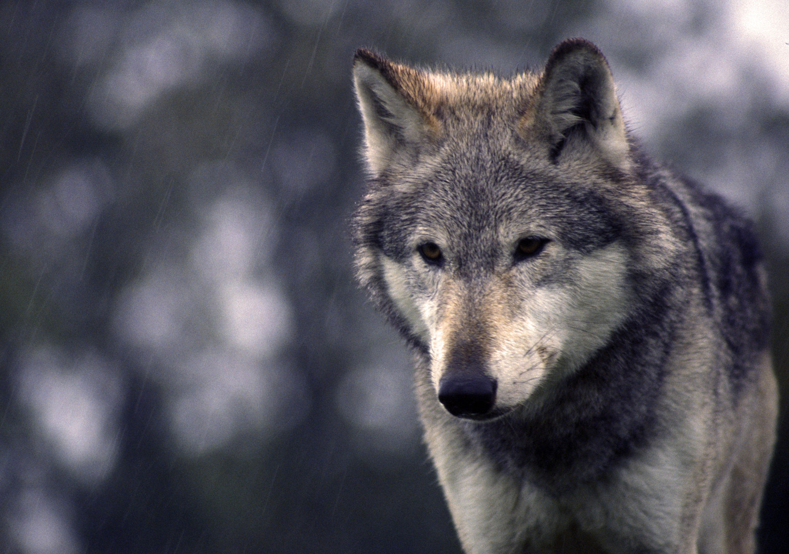 wolf%2022.jpg