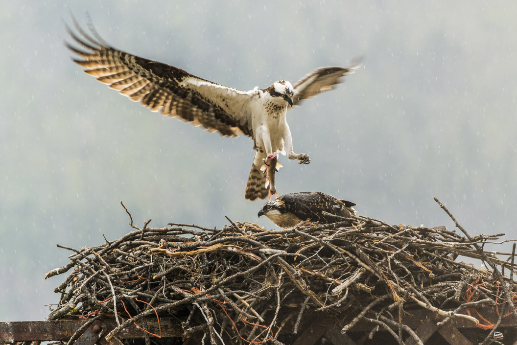 Osprey June 2016