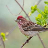Male Cassins Finch