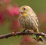 Male House Finch - Yellow