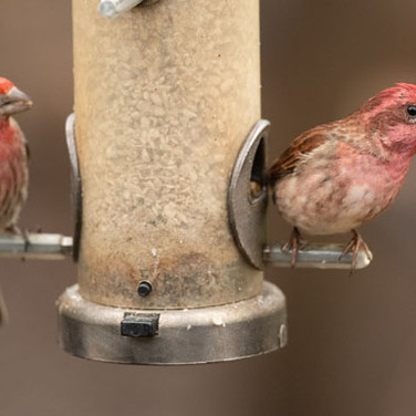 Male House and Purple Finch