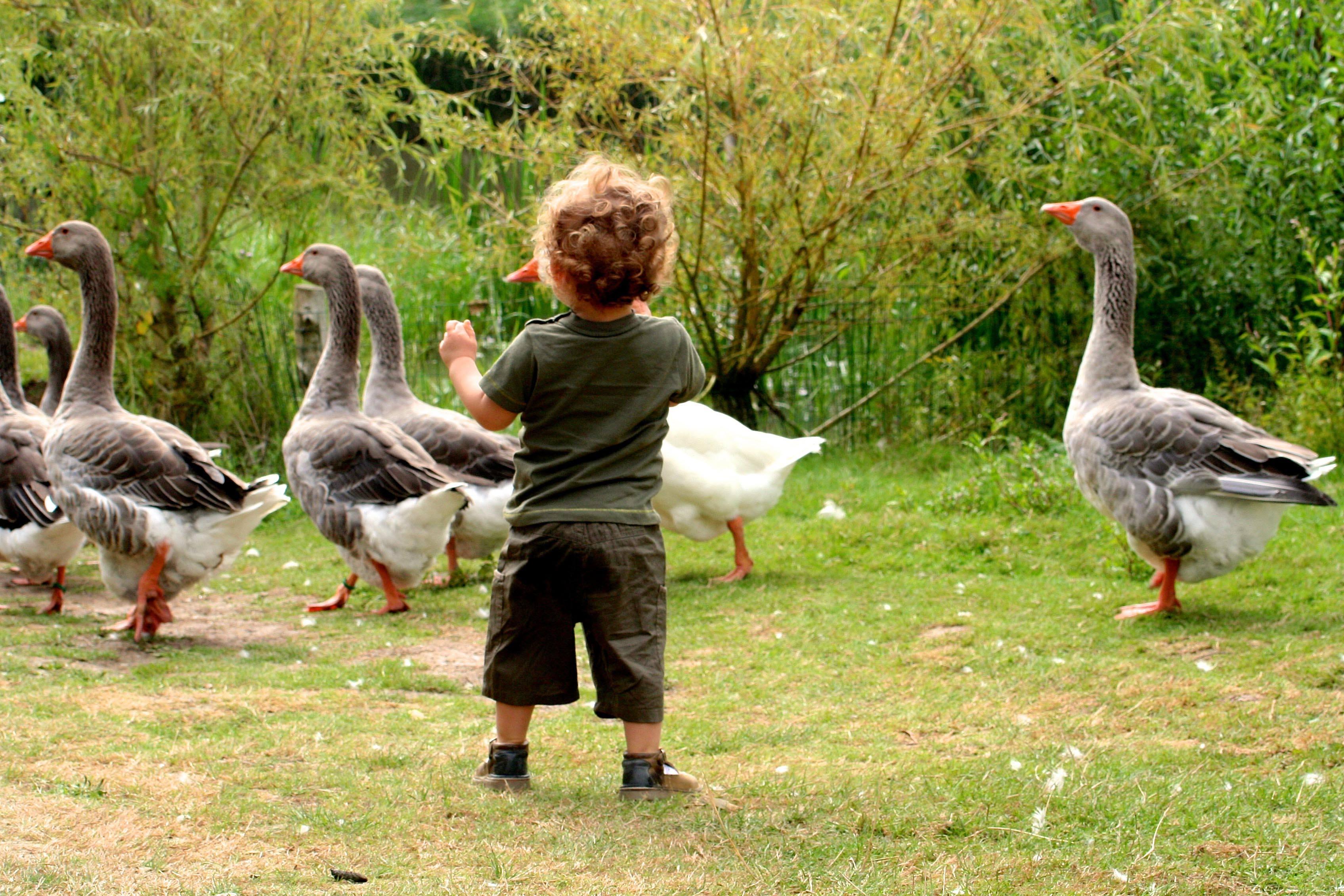 l'enfant et les oies