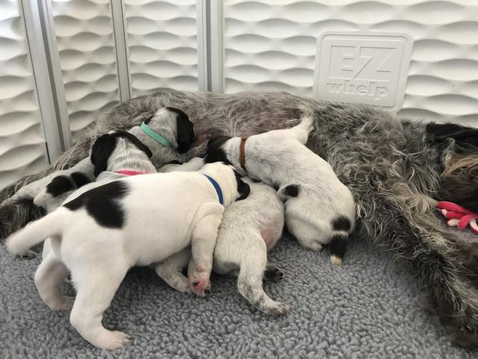 Maggie & Ralphie GWP  pups at 2 weeks old 06/28/2021