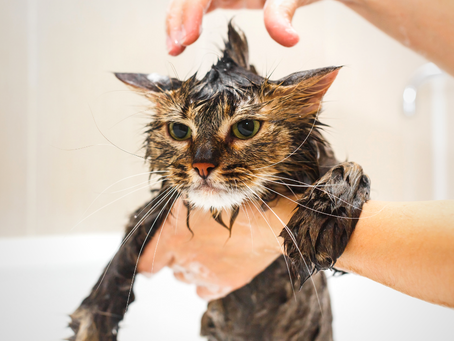 A Quick Guide to Grooming Your Cat