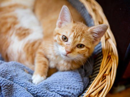 Why You Should Consider Getting a Barn Cat