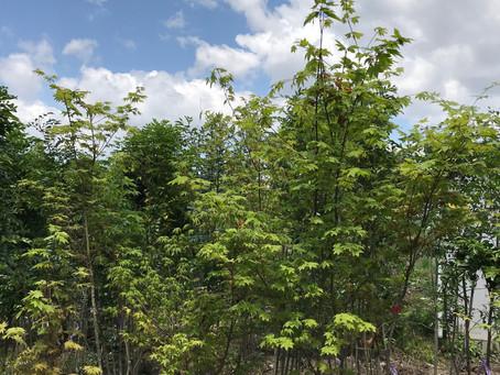 大川の家 樹木選び2
