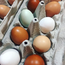 The girls are laying different coloured eggs! Who needs organic eggs! Email erindenouden_gmail