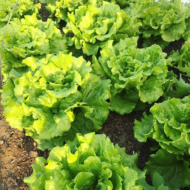 Lettuce help you start eating healthy! 🌻🌾🌏🌨🥗 These greens are seriously divine! #aprettygoodfar