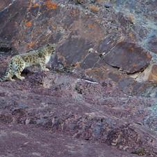 Jean Marie Séveno, La quête de la panthère des neiges, Ladakh