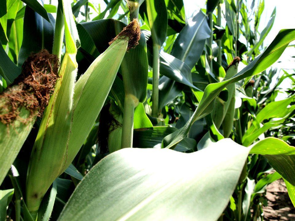 Corn W