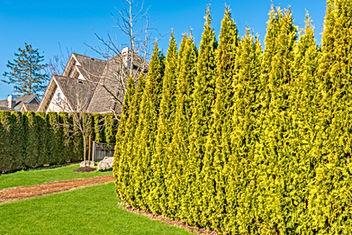 Cedar hedges planting and maintenance.