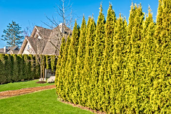 Cedar hedges planting and maintenance.