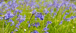 Bluebell Times