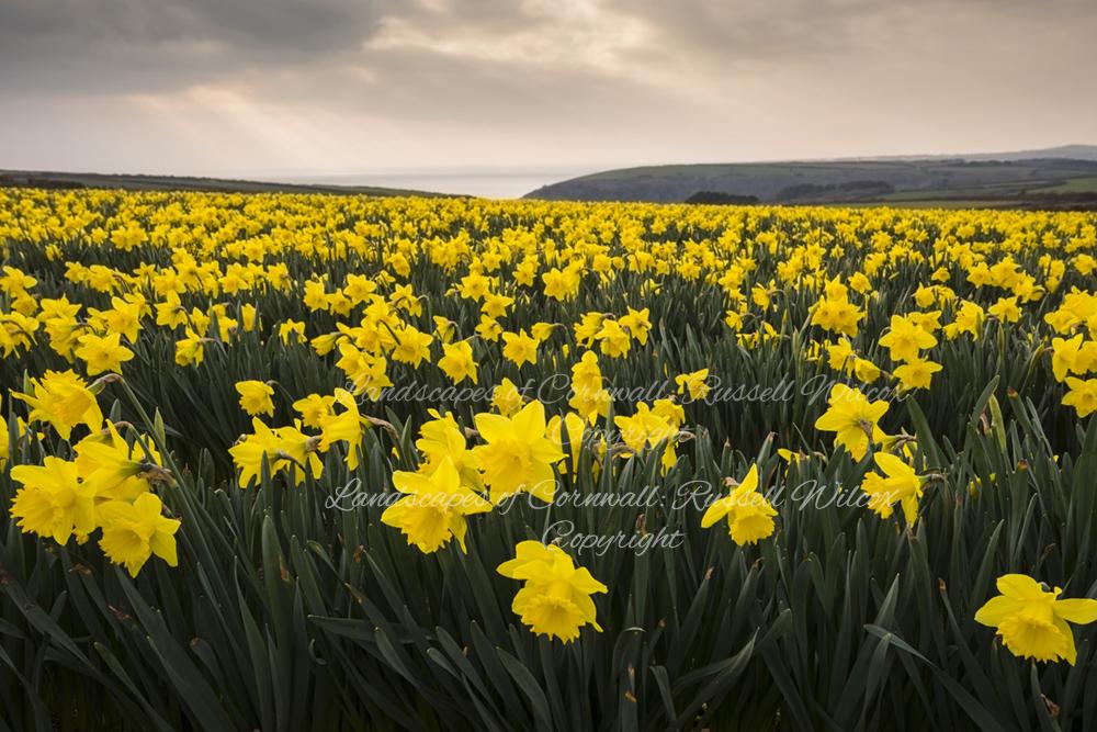 Daffodil Glory