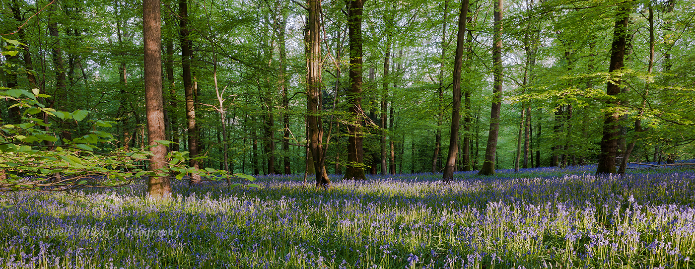 Forest Blue bells