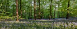 Forest Blue bells
