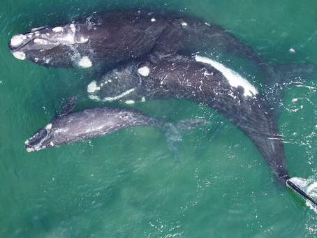 Yuneec Announces Collaboration with Ocean Alliance to Aid Groundbreaking Whale Research