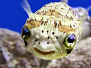 О рыбе фугу, пластических операциях и фламенко