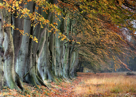 Autumn Beech Trees.jpg