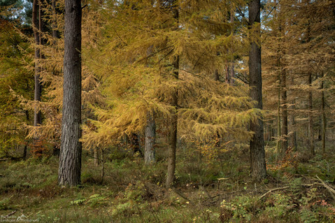 Between the Pines.jpg