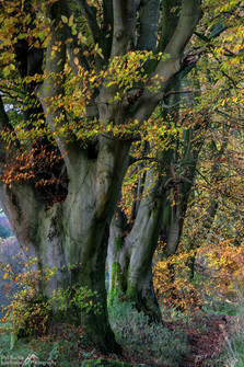 Roadside Beech Trees.jpg