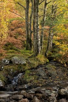 Barrow Beck Birches.jpg
