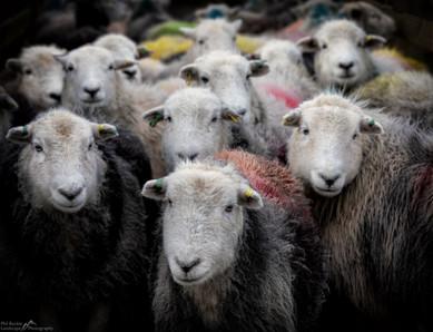 Herdwick Sheep.jpg