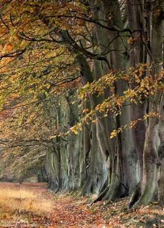 Autumn Beech Trees1.jpg