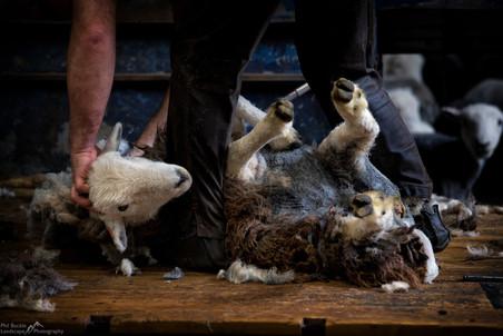 Herdwick Shearing