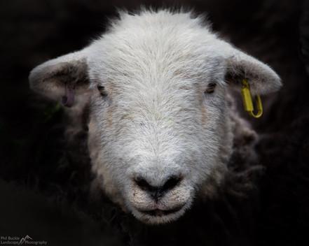 Herdy Ewe