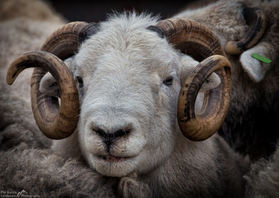 Herdy Ram