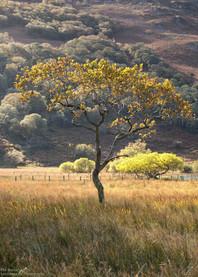 Crummock Lone Tree.jpg
