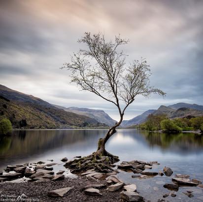 Llanberis Lone Tree.jpg